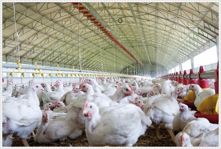 Tavuk Çiftliği Kurulumunda Dikkat Edilmesi Gerekenler